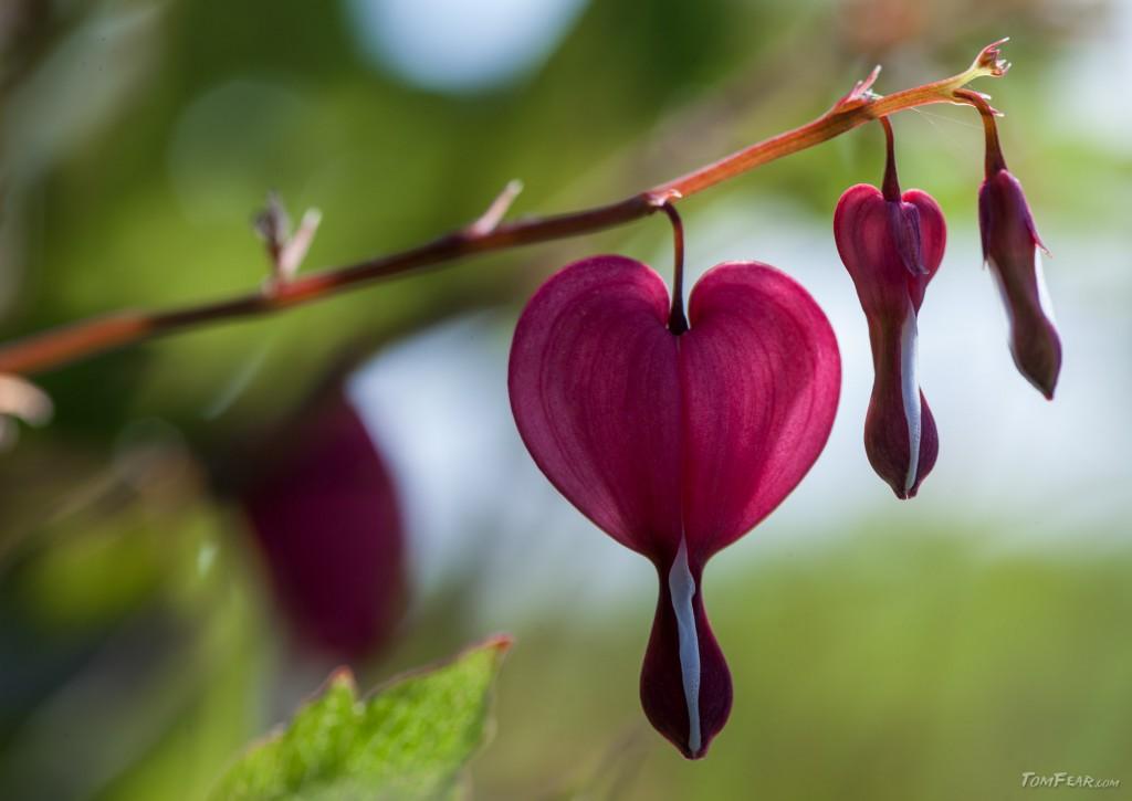 weepingheart