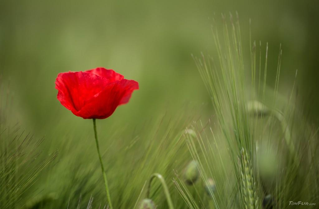 poppy2